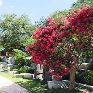 Crape Myrtle Trees in Wolmyeongdong during spring