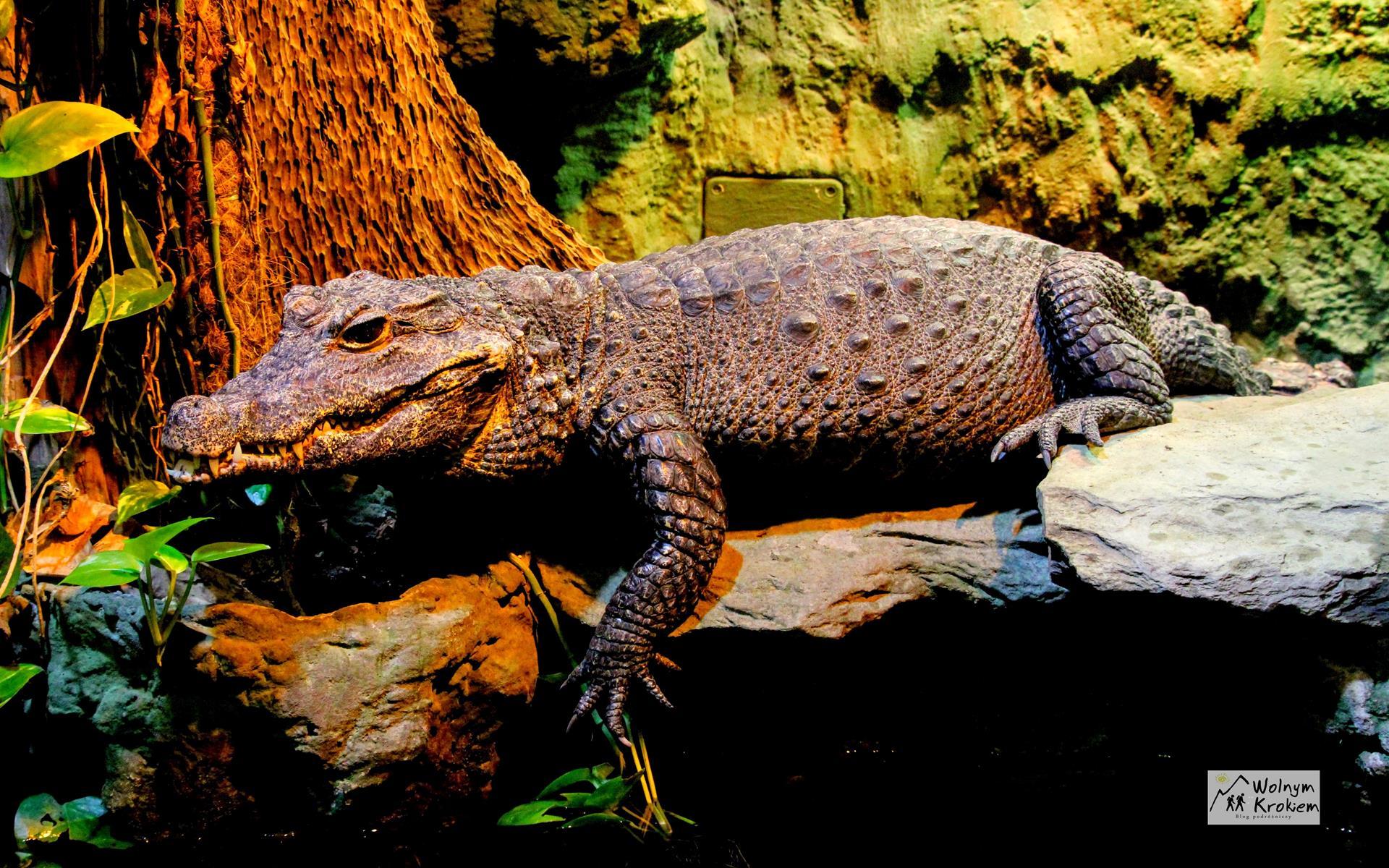 Zoo Wrocław krokodyl