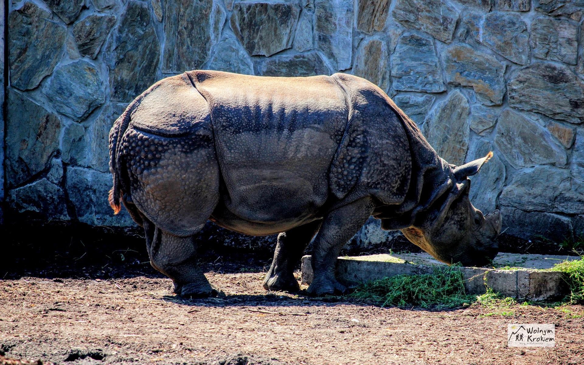 Zoo Wrocław nosorożec