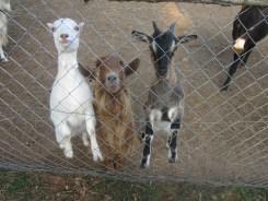Chèvres gourmandes