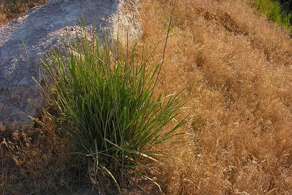 wildrye-and-cheatgrass.jpg