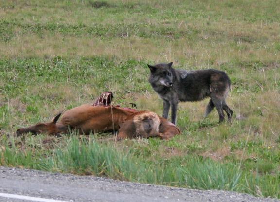 phantom-hill_elk-carcass.jpg