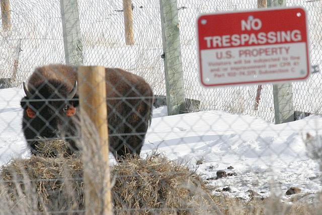 Buffalo in quarantine - Kim Acheson