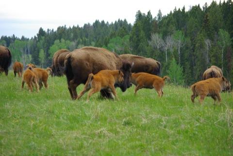 Bison on Horse Butte © Ken Cole