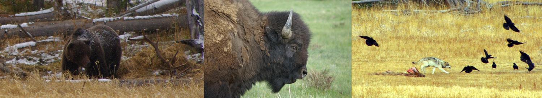 Grizzly Bear, Buffalo, Wolf © Ken Cole