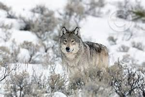 Inclination to illegally kill wolves persists in Wisconsin, study finds