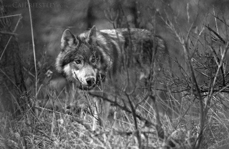 Opinion Editorial: Wolf delisting decision not based on the facts
