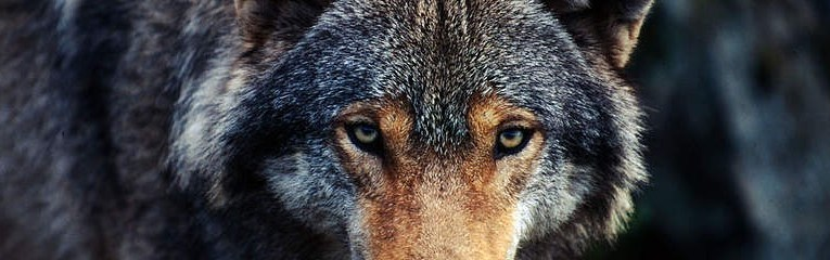 New Italian wolf plan would call for 60 wolves to be legally killed every year, in a context where hundreds of wolves are already killed by poachers using rifles, poison baits or traps.