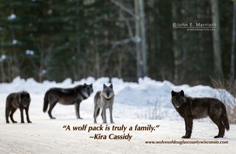 Yellowstone wolf researcher Kira Cassidy highlights the value of what old individuals can teach us…