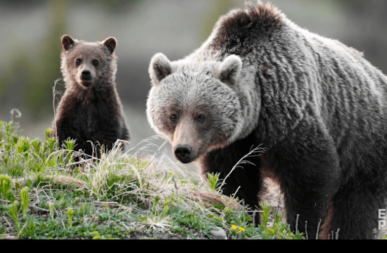 John E Marriott – EXPOSED Ep. 5: Killing Grizzlies – The Truth Behind the B.C. Trophy Hunt