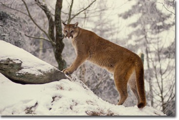 Deer & vehicle collisions can be solved by bringing back the cougar to its historical range