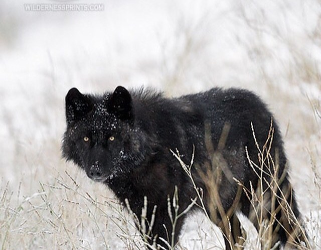 """The DNR confuses 'wolf recovery' with 'keeping wolves just above the brink of extinction.'"