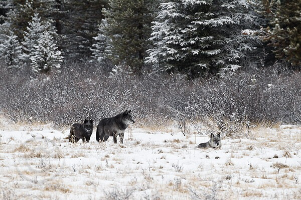 There's just one genuine wolf species in America