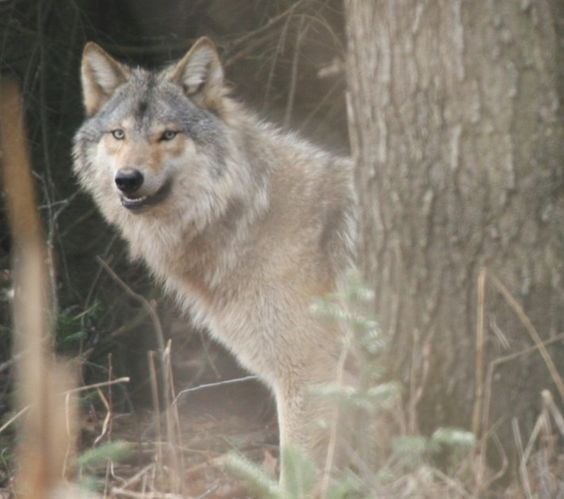Wolves are benifical for the health of Wisconsin's forests…