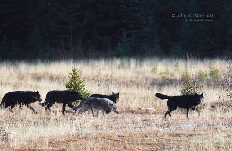 WPR Joy Cardin Show – Big Question: Who Should Control Wisconsin's Wolf Population?