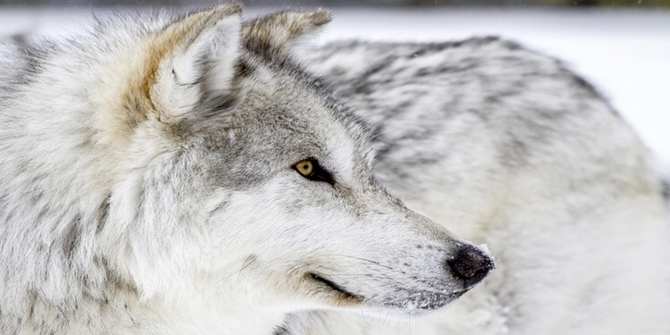Advances made in wolf deterrents