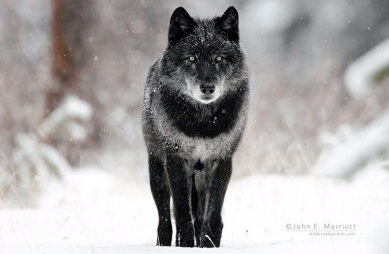 Opinion editorial: Numbers don't add up in wolf-hound debate