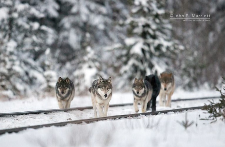 Letter to the Editor: Opposed to wolf bill