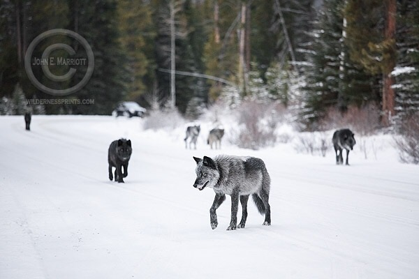 Wolves in Wyoming face uncertain future as ESA comes under attack