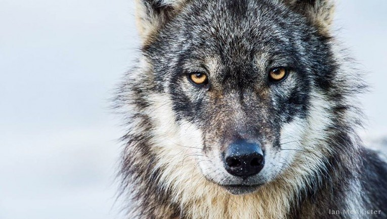 Proposed legislation would make it illegal for law enforcement to enforce state or federal law relating to management of wolves in Wisconsin.