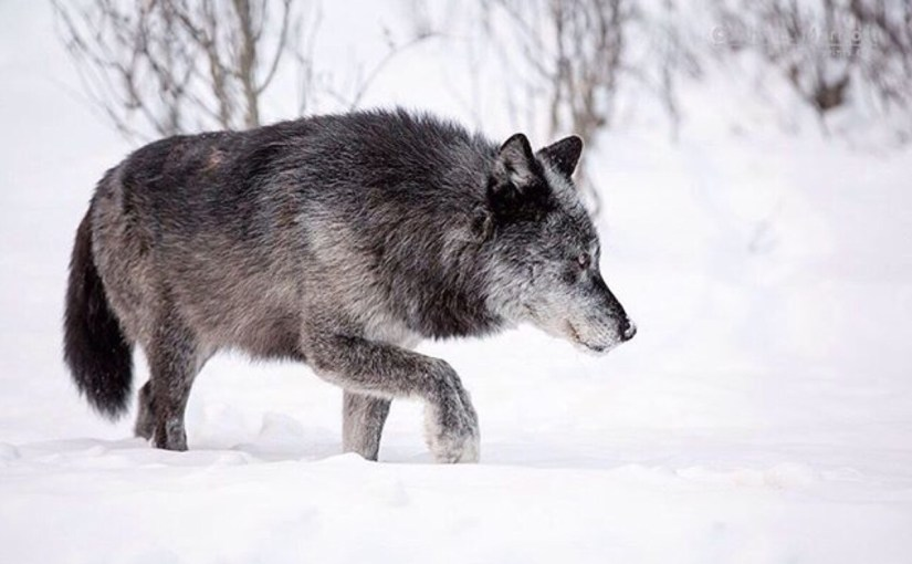 Urgent Action Required to Protect Wolves in the Great Lakes Region
