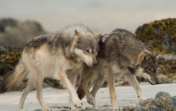 Wisconsin's Gray Wolf Population Reports Show a Two Percent Decrease From the Previous Year…