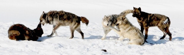 Urgent Action Needed to Protect the Gray Wolf from Latest Delisting Threat…