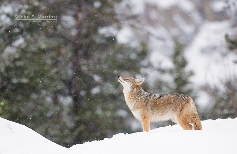 A National Coalition to End Wildlife Killing Contests