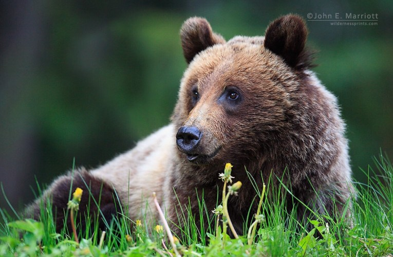 Judge Blocks the Hunting of Grizzly Bears in Idaho, Wyoming