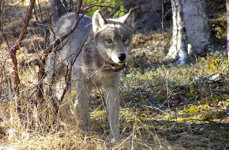 US Rep Sean Duffy (R-WI) Proposes Removing Endangered Species Act Protection for Gray Wolves in the Lower 48 States…