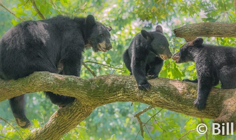 The Hungry Orphaned Black Bear Cubs…