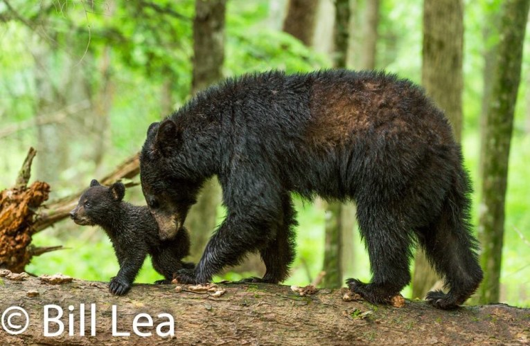 A Mother black bear will teach her cubs everything they need to know in order to survive…
