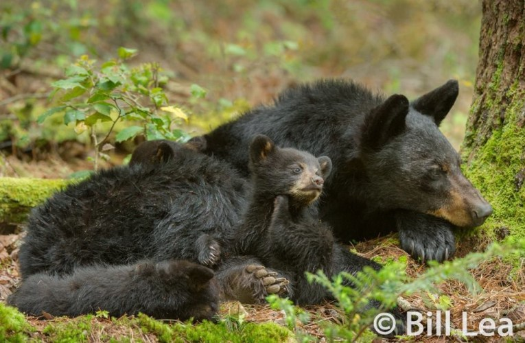 Action Alert: Contact Wisconsin's DNR Bear Advisory Committee Concerning the Baiting of Black Bears…