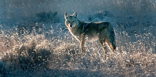 In the News! New Mexico Senate backs ban on coyote-killing contests.