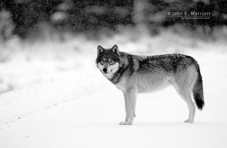 Use of Dogs to Hunt Wisconsin's Gray Wolf Sparks a Debate