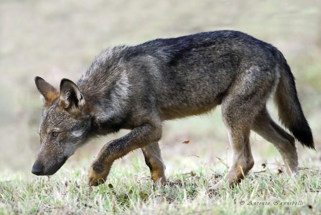 Canis lupus italicus cucciolo che cammina