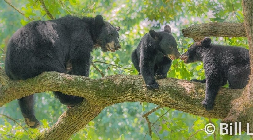 A Mother black bear will teach her cubs everything they need to know in order to survive.