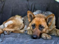 Лишай у собаки - симптомы