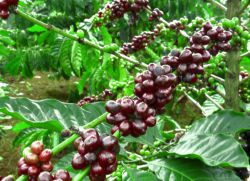 Как растет кофе?