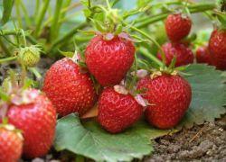 poate căpșunile de căpșuni vă ajută să pierdeți în greutate