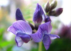 Мышиный горошек: описание растения и его применение. Чем полезен мышиный горошек, полезные свойства многолетнего растения