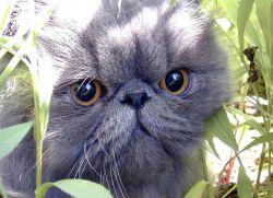 Персидские кошки - описание породы