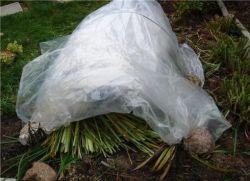 Как хранить гортензию в горшке зимой дома. Гортензии: выращиваем любые! Когда снимать зимнее укрытие
