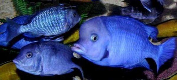 Аквариумная рыбка голубой дельфин содержание и совместимость