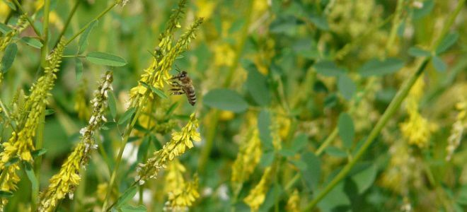 Донниковый мед – чем отличается от других сортов и какая его польза для организма. Донниковый мед: эталонный, полезный и тяжело доступный