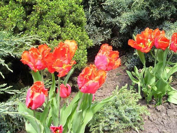 Как правильно посадить тюльпаны?