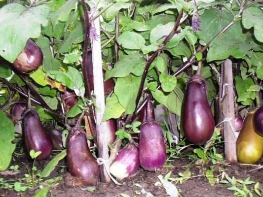 Баклажаны - выращивание в открытом грунте
