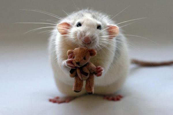 Сколько живут крысы?