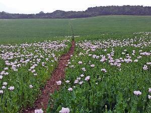 20140615_102123 poppy field 300