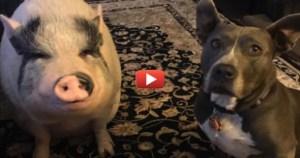 свинья думает что она собака